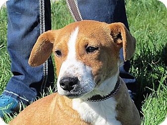 Collie Mix Puppy for adoption in Germantown, Maryland - Griffin