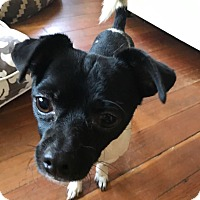 Adopt A Pet :: Peter - Sharon, CT