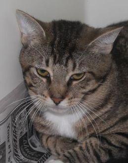 Domestic Shorthair/Domestic Shorthair Mix Cat for adoption in Robinson, Illinois - Jonathan