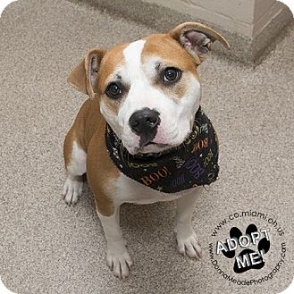 Pit Bull Terrier Dog for adoption in Troy, Ohio - Ivy- URGENT