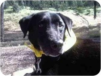 Labrador Retriever Mix Dog for adoption in San Diego, California - TANDY
