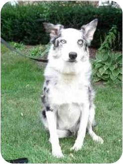 Australian Shepherd Mix Dog for adoption in Blooming Prairie, Minnesota - Azel