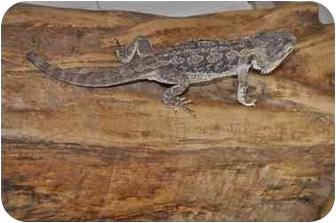 Lizard for adoption in Longmont, Colorado - Kate Austen