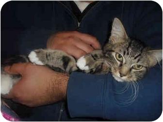 Domestic Mediumhair Kitten for adoption in Davis, California - Lady
