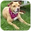 Photo 1 - American Pit Bull Terrier/American Pit Bull Terrier Mix Dog for adoption in Howes Cave, New York - Flower - On Hold