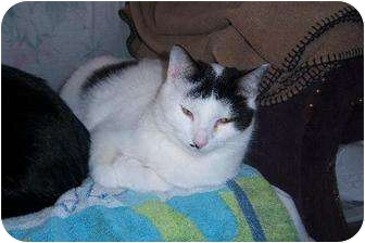 Domestic Shorthair Cat for adoption in Orillia, Ontario - Buster