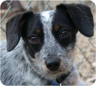 Australian Cattle Dog/Terrier (Unknown Type, Small) Mix Dog for adoption in Berea, Ohio - Callie