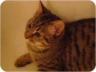 Domestic Shorthair Kitten for adoption in Cincinnati, Ohio - Gigi