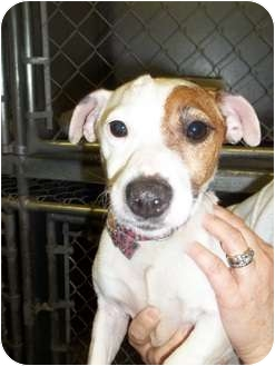 Jack Russell Terrier Dog for adoption in Lapeer, Michigan - Trudy-URGENT!!