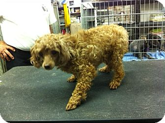Poodle (Miniature) Dog for adoption in Lexington, Kentucky - Jeronimo