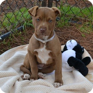 Pit Bull Terrier Mix Puppy for adoption in Athens, Georgia - Destiny