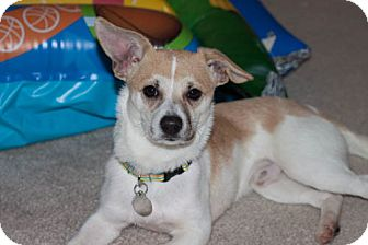Jack Russell Terrier Mix Dog for adoption in Huntsville, Alabama - Charlie