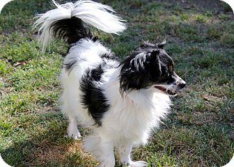 Pomeranian/Shih Tzu Mix Dog for adoption in Lodi, California - Holly