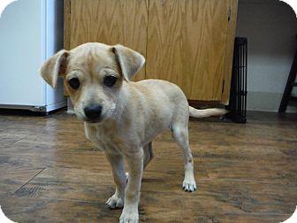 Chihuahua Puppy for adoption in Dublin, California - Bonnie