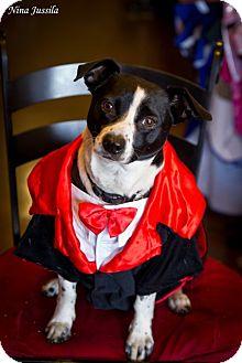 Jack Russell Terrier/Basenji Mix Dog for adoption in Orange, California - Pierre