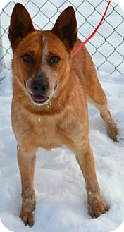 Cattle Dog Mix Dog for adoption in Fruit Heights, Utah - Chubbs