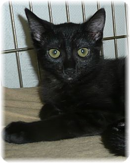 Domestic Shorthair Cat for adoption in Seattle c/o Kingston 98346/ Washington State, Washington - Dawn