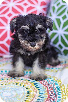Schnauzer (Miniature) Puppy for adoption in Auburn, California - Columbo