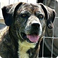 Adopt A Pet :: Gerti - Loveland, CO