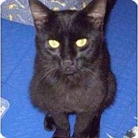 Adopt A Pet :: Panther - New York, NY