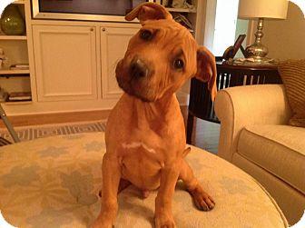 Pit Bull Terrier/Rhodesian Ridgeback Mix Puppy for adoption in Warrenville, Illinois - Hudson