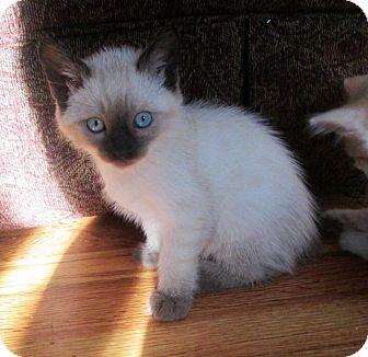 Siamese Kitten for adoption in Cerritos, California - Toto