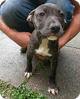 Cane Corso/American Pit Bull Terrier Mix Puppy for adoption in Elderton, Pennsylvania - Cadie