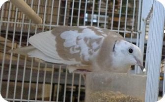 Dove for adoption in Grandview, Missouri - Kenny