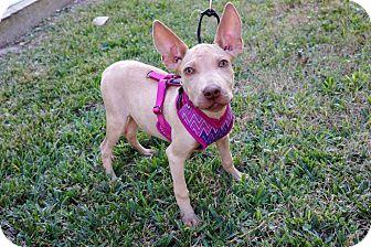 Ibizan Hound Mix Puppy for adoption in Houston, Texas - Katniss