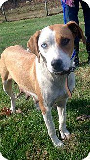 Australian Cattle Dog/Boxer Mix Dog for adoption in Salamanca, New York - Lydia- HOUSETRAINED!