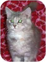 Domestic Longhair Kitten for adoption in Murphysboro, Illinois - Cottontail