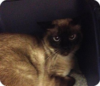 Siamese Cat for adoption in Witter, Arkansas - Reily and EZ Siamese (no fee)