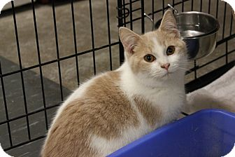 Domestic Shorthair Kitten for adoption in New Richmond,, Wisconsin - Lucy