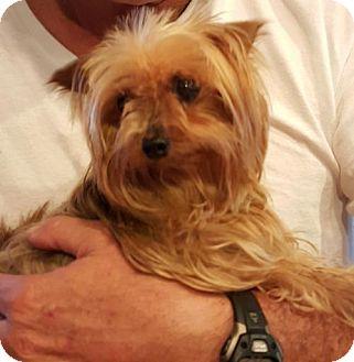 Yorkie, Yorkshire Terrier Mix Dog for adoption in Spring, Texas - Kiki