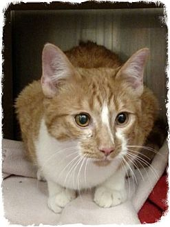 Domestic Shorthair Cat for adoption in Pueblo West, Colorado - Mango