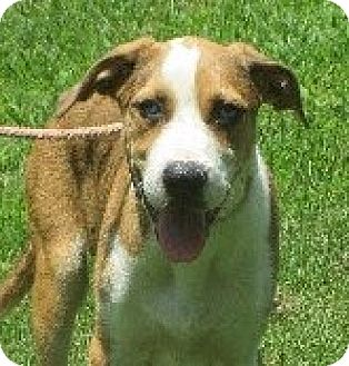 Beagle/Australian Shepherd Mix Puppy for adoption in Greenville, Rhode Island - Alec