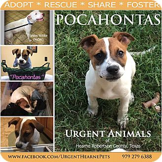 Pit Bull Terrier Mix Puppy for adoption in Hearne, Texas - Pocahontas