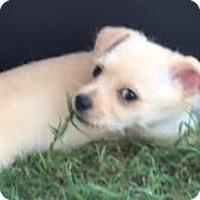 Adopt A Pet :: Becca - Houston, TX