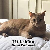 Domestic Shorthair Cat for adoption in Bentonville, Arkansas - Little Man