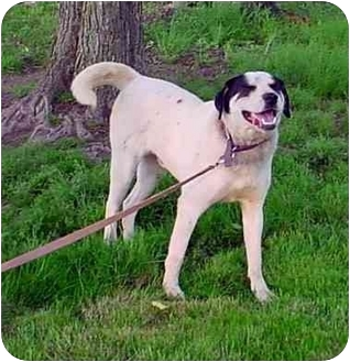Labrador Retriever/Dalmatian Mix Dog for adoption in Freedom Township, Ohio - Buck