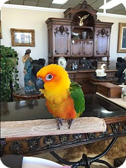 Conure for adoption in Burleson, Texas - Echo
