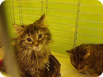 Maine Coon Kitten for adoption in Buford, Georgia - D.T. -$70.00 OR 2 FOR 1 !