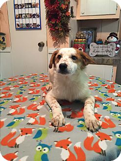 Australian Cattle Dog/Australian Cattle Dog Mix Puppy for adoption in Kittery, Maine - Chase