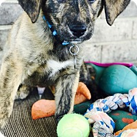 Adopt A Pet :: Vedder - Knoxville, TN