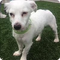 Adopt A Pet :: Chulo - Encino, CA