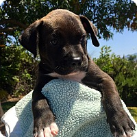 Adopt A Pet :: Augie Meyers, Lab Mix Pup - Corona, CA
