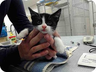 Domestic Shorthair Kitten for adoption in Salinas, California - A143416