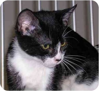 Domestic Shorthair Kitten for adoption in San Clemente, California - KENNEDY