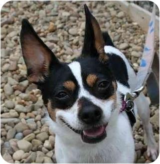 Fox Terrier (Toy)/Rat Terrier Mix Dog for adoption in Berea, Ohio - Gidget
