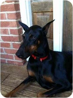Doberman Pinscher Mix Dog for adoption in Hammonton, New Jersey - Daisey